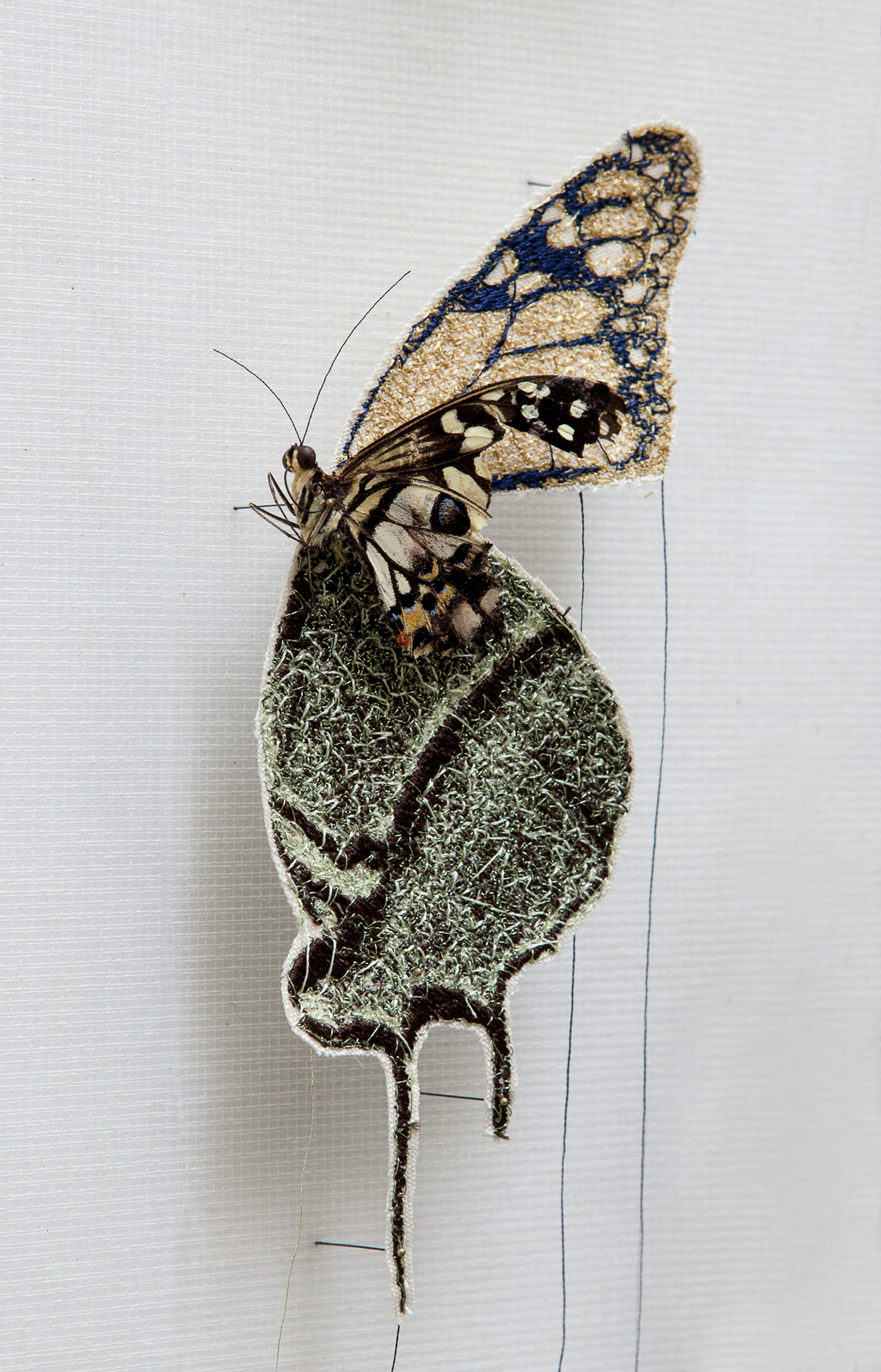 """Silky family"" are different types of butterflies belongs to the same family of ""embroidered wings"". <br>